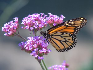Monarch Butterfly_DBG-CO_LAH_9197