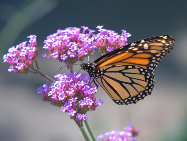 Monarch Butterfly_DBG-CO_LAH_9197