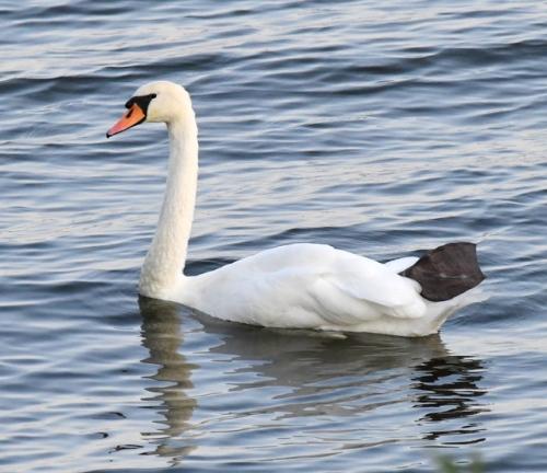 Mute Swan_Muskegon-MI_LAH_4778