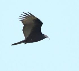 Black Vulture_ShiawasseeNWR-MI_LAH_4730