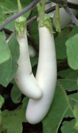 Solanum melongena 'Gretel'_Eggplant_DBG_LAH_7069