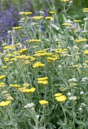 Achillea_Yarrow_DBG-CO_LAH_8169