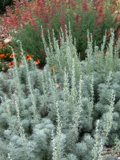 Artemisia 'Seafoam' - Seafoam Sage @CSUtilXeriscapeGarden 9Aug2006 LAH136