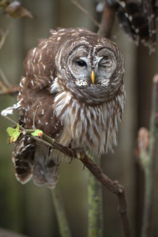 Barred Owl_HomosassaSP-FL_LAH_7885