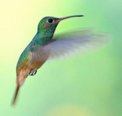 Buff-bellied Hummingbird_EsteroLlanoGrandeSP-TX_LAH_1314