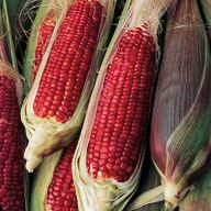 Burpee 'Ruby Queen' corn