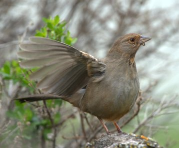 California Towhee_ShorelinePark-MtView-CA_LAH_8962
