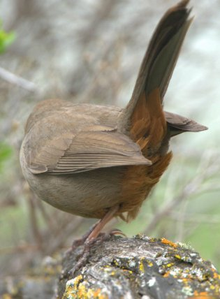 California Towhee_ShorelinePark-MtView-CA_LAH_8965-001
