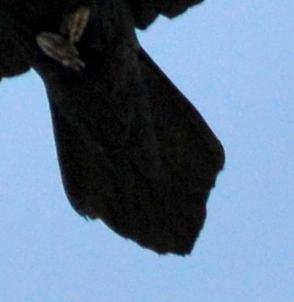 Common Raven_BlackCanyonoftheGunnisonNP-CO_LAH_0959-001