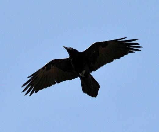 Common Raven_BlackCanyonoftheGunnisonNP-CO_LAH_0959