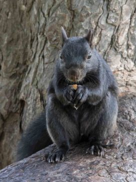Fox Squirrel_Niagara Falls_ON_LAH_4241r