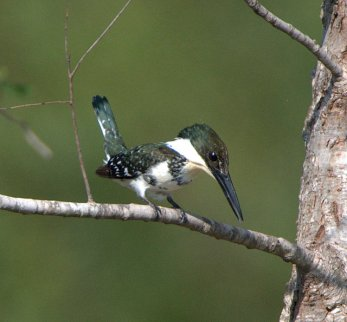Green Kingfisher_SabalPalms-Brownsville-TX_LAH_0580