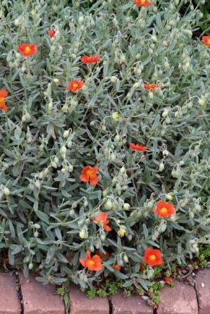 Helianthemum_Rock Rose aka Sunrose_DBG-CO_LAH_8091