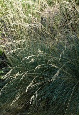 Helictotrichon sempervirens - Blue Oat Grass @XG 9aug05 LAH 093