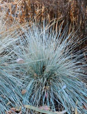 Helictotrichon sempervirens_Blue Oat Grass_DBG_LAH_4080-001