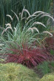 Imperata cylindrica 'Rubra'_Japanese Blood Grass_DBG_LAH_7414