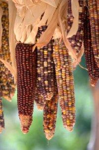 Indian Corn_DBG-CO_LAH_9045