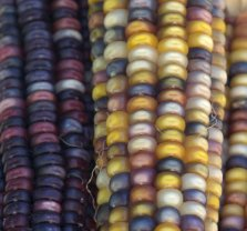 Indian Corn_DBG-CO_LAH_9050