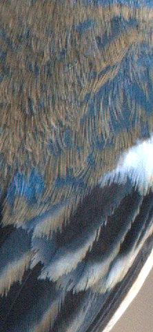 Lazuli Bunting_Patagonia-AZ_LAH_3706