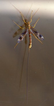 Megarhyssa sp_Ichneumon Wasp_Sterling-CO_LAH_2264