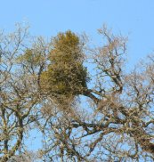 Mistletoe in Oak_MtDiablo-CA_LAH_8866