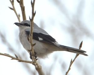 Northern Shrike_RMANWR-CO_LAH_8429