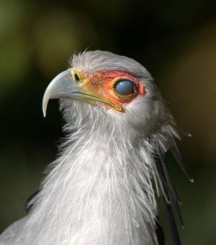 Secretarybird_DenverZoo_LAH_1567