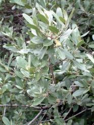 Shepherdia canadensis - Russet Buffaloberry @CC 2003jul06 LAH 003