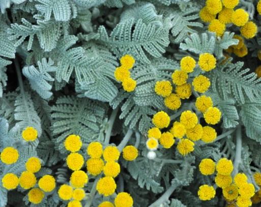 Tanacetum densum - Partridge Feather_XG_090720_LAH_7376
