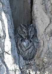Western Screech-owl_ClearSpringRanch-COS-CO_LAH_0536