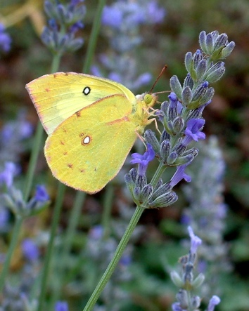 742 butterfly on lavender
