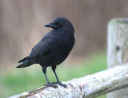 American Crow_OceansideOR_20100204_LAH_8209