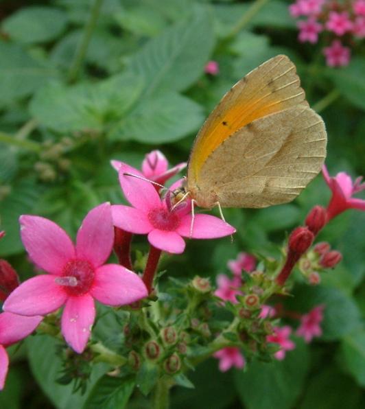 butterfly - San Antonio Botanic Gardens_DSCF0698