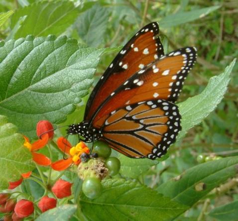 Butterfly_San Antonio Botanic Gardens_DSCF0583