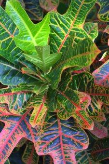 Codiaeum variegatum var pictum_Croton_DBG_LAH_6552