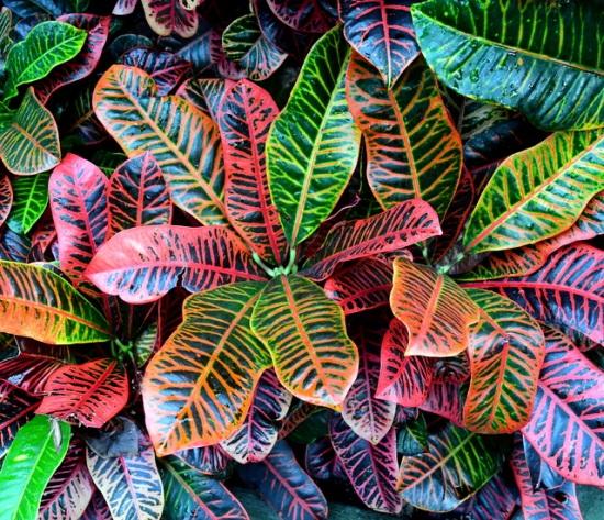 Codiaeum variegatum_Croton_Conservatory - VolunteerPark-Seattle-WA_LAH_0334-001