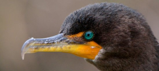 Double-crested Cormorant__LAH