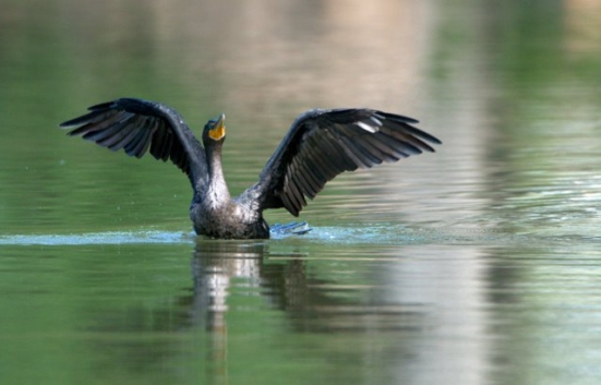 Double-crested Cormorant_PuebloCityPark-CO_LAH_6799