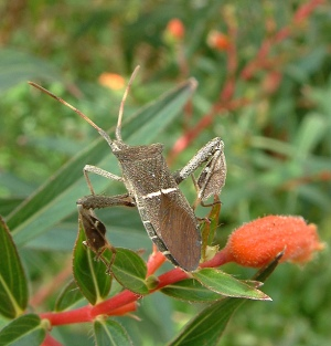 Leaf footed bug on Cuphea micropetala - Cigar Plant 578