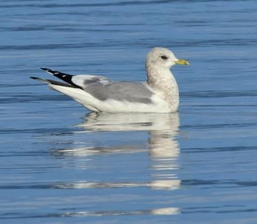 Mew Gull_DumasBaySanctuary-WA_LAH_9587