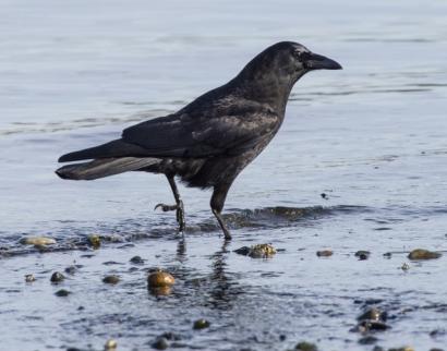 Northwestern Crow_DumasBaySanctuary-WA_LAH_9524r