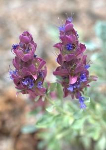Salvia pachiphylla 'Mohave' - Mojave Sage_XG_20090720_LAH_7236