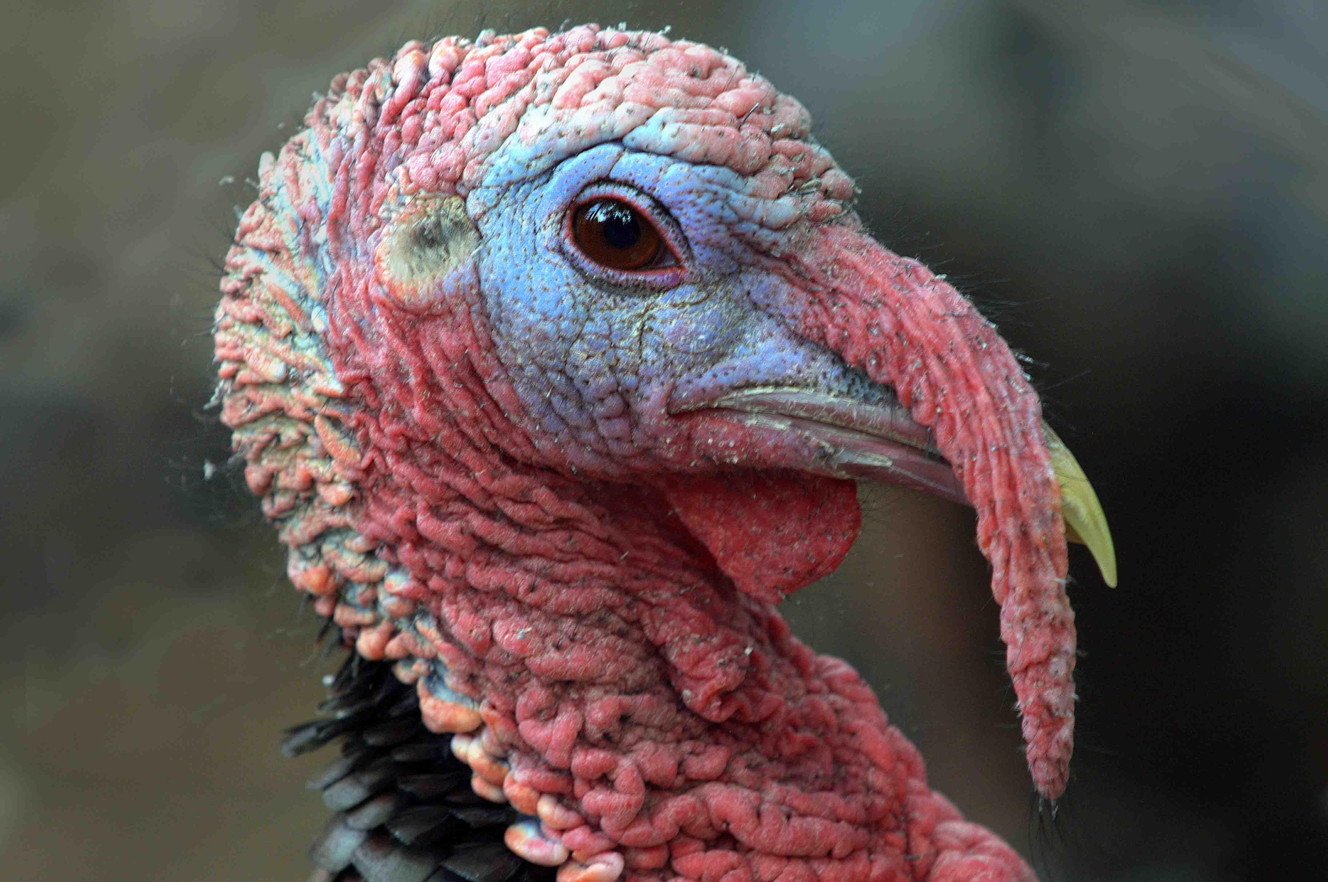 Wild Turkey_CheyenneMtnZoo-CO_LAH_2224