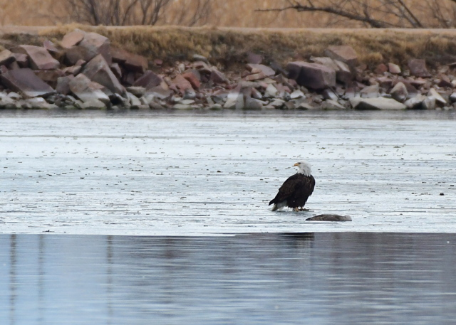 Bald Eagle_MilavecReservoir-CO_LAH_9748