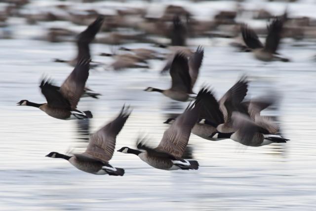 Canada Geese flying_MilavecReservoir-CO_LAH_9670