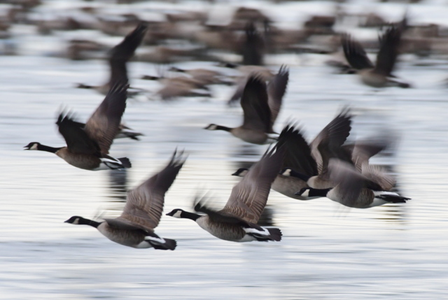 Canada Geese flying_MilavecReservoir-CO_LAH_9670