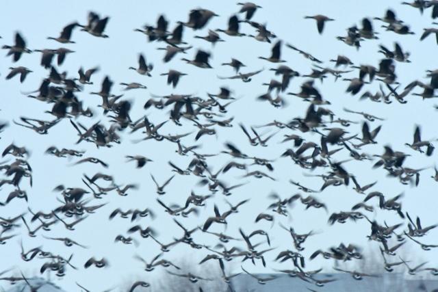 Canada Geese flying_MilavecReservoir-CO_LAH_9786