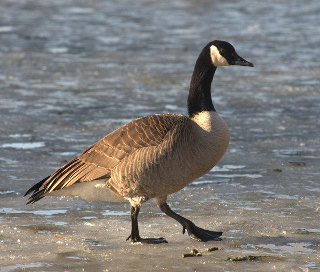 Canada Goose_PuebloCO_20100115_LAH_6505
