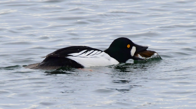 Common Goldeneye_MilavecReservoir-CO_LAH_9701