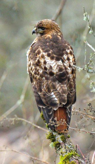 Red-tailed Hawk_RidgefieldNWR-WA_LAH_2353